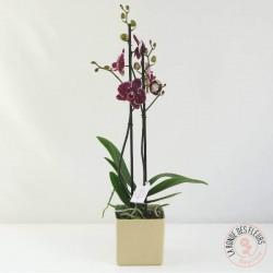 Orchidée mauve
