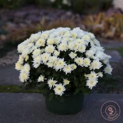 chrysantheme petites fleurs blanches rennes