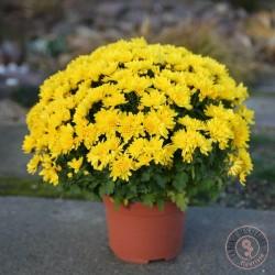 Chrysanthème pompon jaune