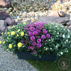 jardiniere chrysantheme la ronde des fleurs