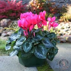 Coupe de 3 cyclamens roses